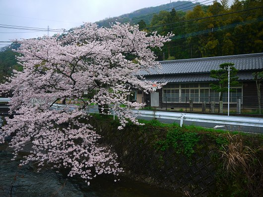 名もなき桜.jpg