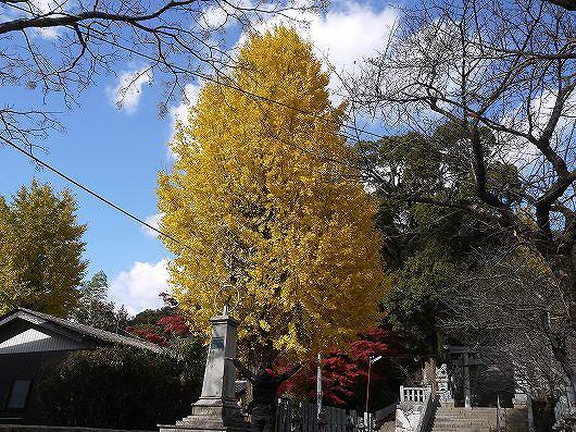 香春神社のイチョウの木.jpg