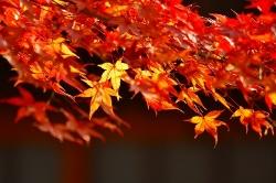 12月2日紅葉.jpg