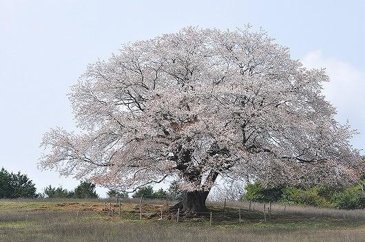才尾の一本桜.jpg