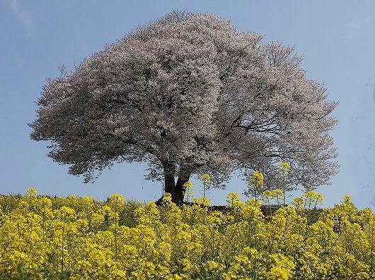 馬場の一本桜.jpg