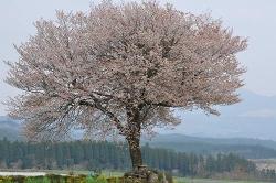 4月16日前原の一本桜.jpg